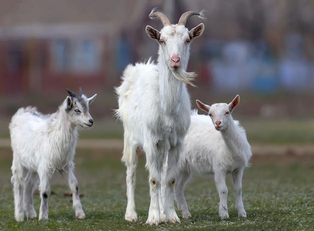 Śmieszne zdjęcia młodych kóz i ich matek
