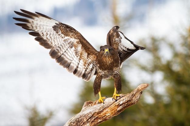 Śmieszne zdjęcia myszołowa stojącego na gałęzi z otwartymi skrzydłami