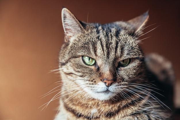 Śmiesznego portreta arogancki krótkowłosy domowy tabby kot pozuje na ciemnym brązie