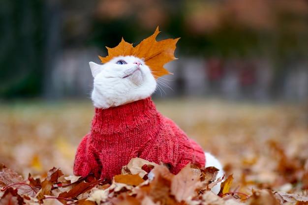 Śmieszny biały kot wielobarwne oczy rasy angora siedzi wśród liści w parku w jesienny dzień zwierzę w swetrze na ulicy zwierzak bawi się w czerwonym i żółtym klonie