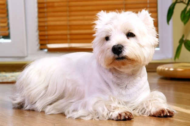 Śmieszny biały pies w domu