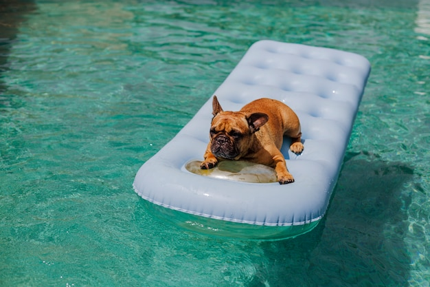 Śmieszny brown buldog francuski siedzi na nadmuchiwanej podkładce i relaksuje przy pływackim basenem. wakacje, relaks i wakacje z psami koncepcji