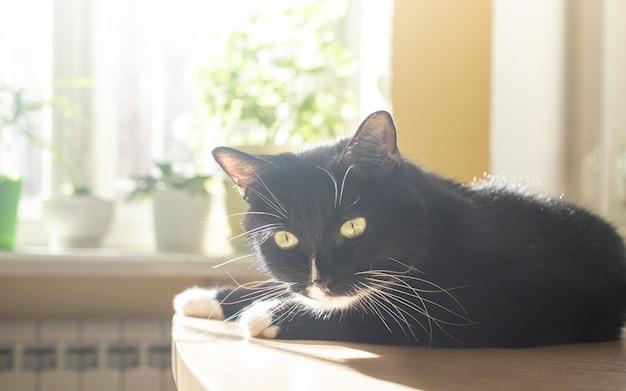Śmieszny czarny kot leży na stole w pobliżu okna z zielonymi roślinami domowymi i wygrzewa się w słońcu. przytulne wnętrze domu ze zwierzakiem. selektywne skupienie.