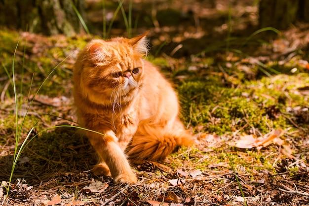 Śmieszny czerwony kot perski w jesiennym tle z opadłymi suchymi liśćmi