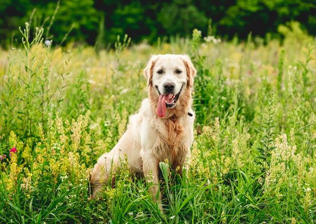 Śmieszny golden retriever na kwitnienia polu