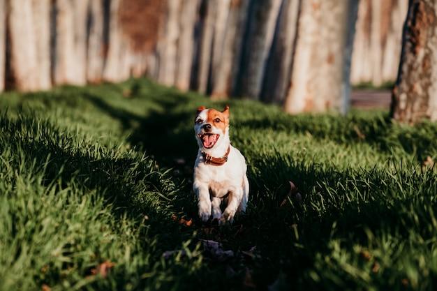 Śmieszny jack russell pies biega przy zmierzchem w naturze. szczęśliwy pies na zewnątrz