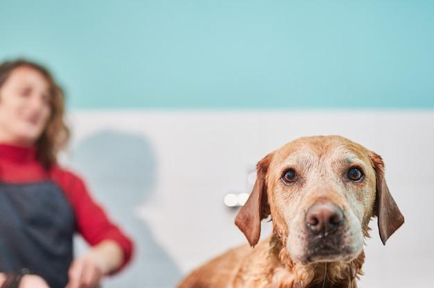 Śmieszny kierowniczy portret labrador retriever kąpać się.