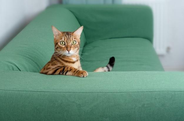 Śmieszny kot bengalski siedzi na zielonej sofie w pokoju