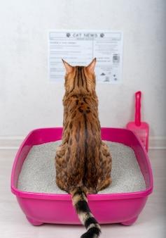 Śmieszny kot domowy czytający gazetę na tacy z wypełniaczem bentonitowym