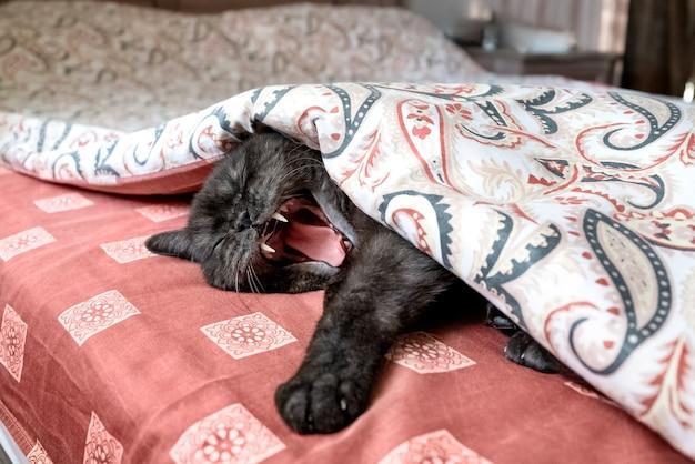 Śmieszny kot leży na łóżku pod kocem ziewając