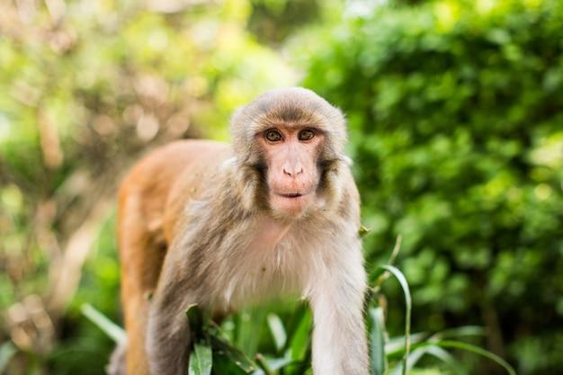 Śmieszny makaka rezus w lesie z zamazanym naturalnym tłem