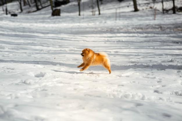 Śmieszny mały pekingese skacze na śniegu w zima parku
