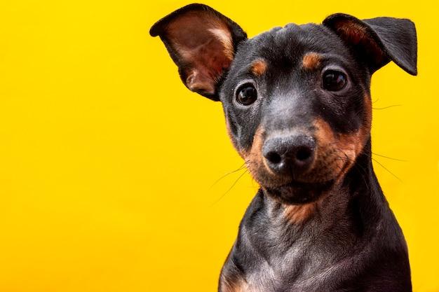 Śmieszny pies na żółtym tle