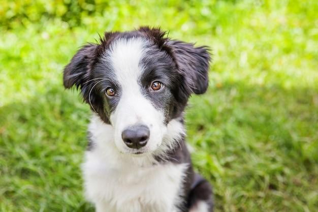 Śmieszny plenerowy portret śliczny smilling szczeniaka psa border collie obsiadanie na zielonej trawy gazonie