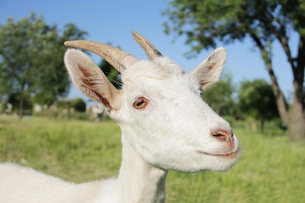 Śmieszny portret białej kozy