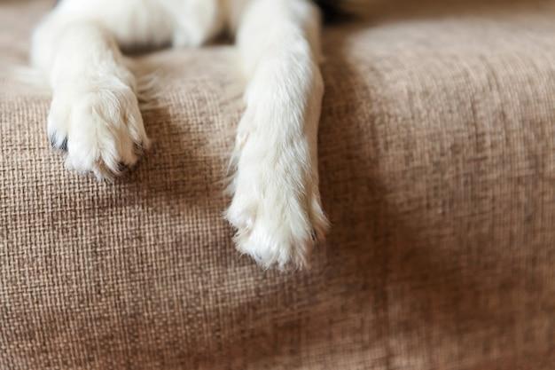 Śmieszny portret śliczny smilling szczeniaka psa border collie na leżance