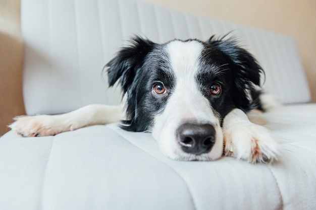 Śmieszny portret śliczny uśmiechnięty szczeniaka psa border collie na leżance indoors. nowy śliczny członek rodzinnego małego psa w domu, wpatrujący się i czekający. koncepcja opieki nad zwierzętami i zwierzętami