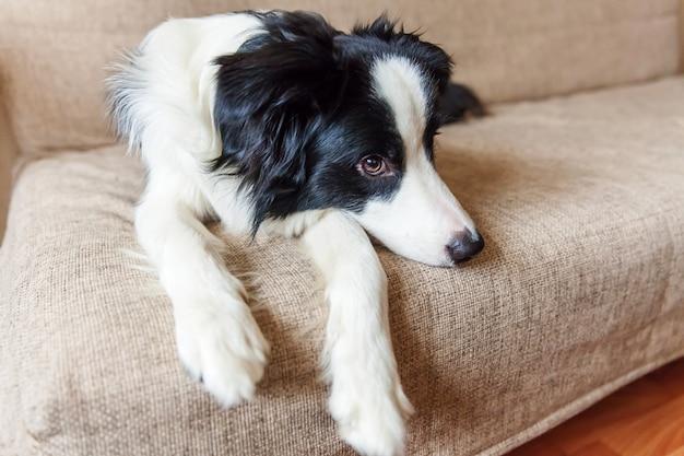 Śmieszny portret śliczny uśmiechnięty szczeniaka psa border collie na leżance. nowy śliczny członek rodzinnego małego psa w domu, wpatrujący się i czekający. koncepcja opieki nad zwierzętami i zwierzętami.