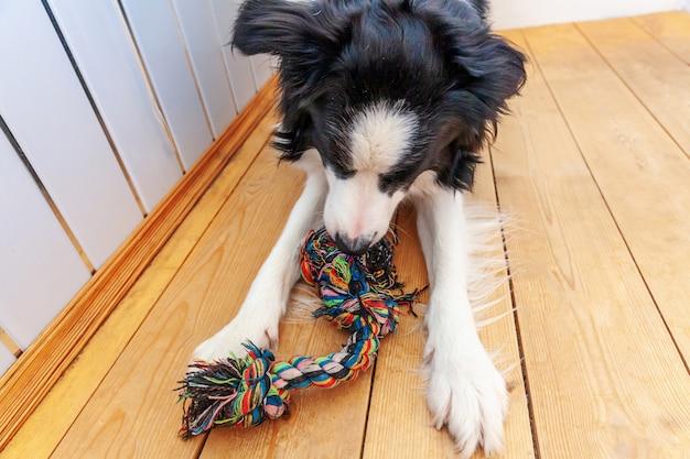 Śmieszny portret śliczny uśmiechnięty szczeniaka psa border collie trzyma kolorową arkany zabawkę w usta. nowy śliczny członek rodzinnego piesek bawiącego się w domu z właścicielem. koncepcja opieki nad zwierzętami i zwierzętami.