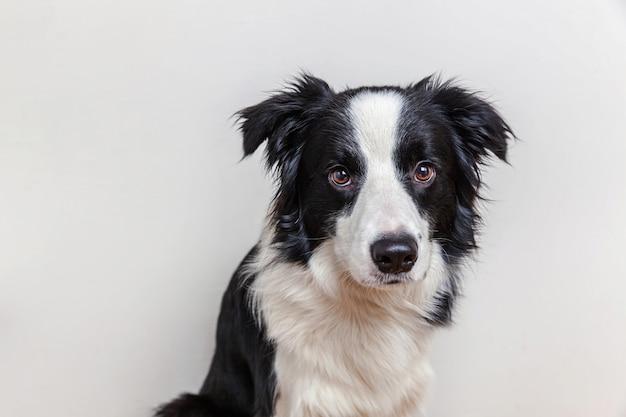 Śmieszny pracowniany portret śliczny uśmiechnięty szczeniaka psa border collie odizolowywający na biel ścianie. nowy śliczny członek rodziny małego psa, który patrzy i czeka na nagrodę. koncepcja życia śmieszne zwierzęta zwierzęta.