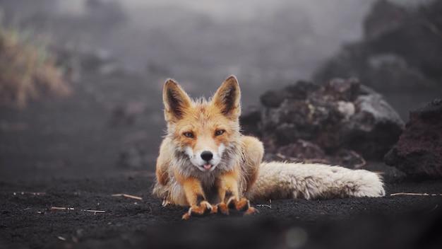 Śmieszny rudy lis w mokrym lisie na kamczatce w naturalnych warunkach