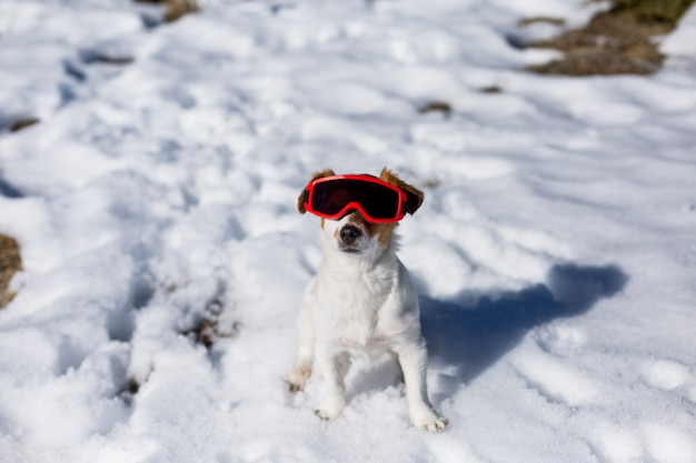Śmieszny śliczny mały pies jest ubranym czerwonych gogle narciarskie w śniegu. słoneczna pogoda. zwierzęta na zewnątrz
