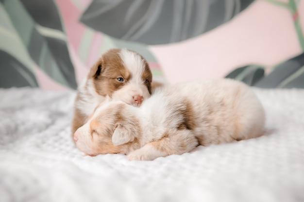 Śmieszny śliczny szczeniak na białym łóżku aussie dog chleb owczarek australijski