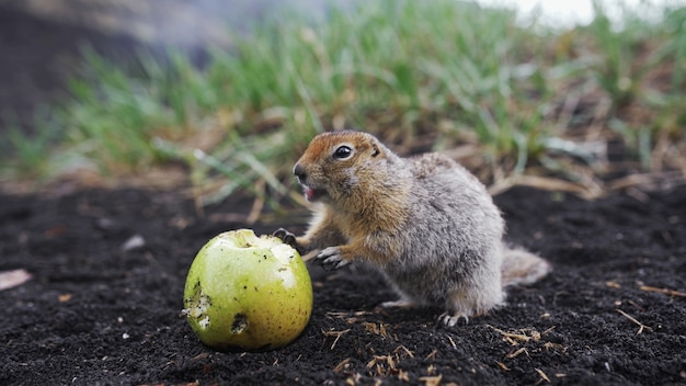 Śmieszny susła jedzący jabłko kamczatkę daleko na wschód od rosji