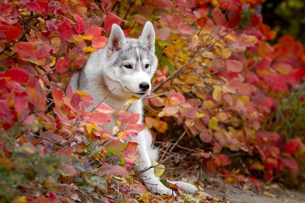 Śmieszny syberyjski husky kłama w żółtych liściach. korona żółtych liści jesienią. pies na tle przyrody.