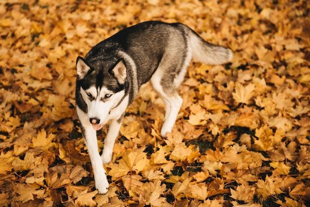 Śmieszny syberyjski husky kłama w żółtych liściach. pies na tle przyrody. jesień