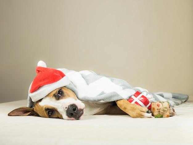 Śmieszny szczeniak staffordshire terrier w boże narodzenie santa claus maskarada kapelusz kładzie owinięty koc w łóżku z prezentem nowego roku.