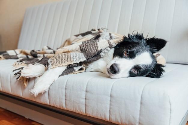 Śmieszny szczeniaka psa border collie kłama na leżance pod szkocką kratą indoors. uroczy członek rodzinnego piesek w domu ocieplający się pod kocem w mroźną jesień jesień zima. koncepcja życia zwierząt domowych.