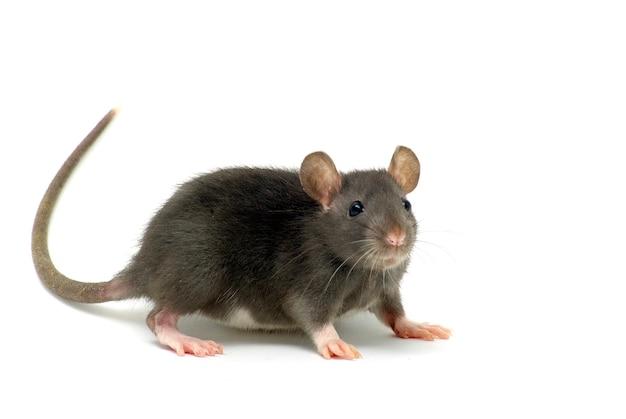 Śmieszny szczur na białym tle na białej ścianie