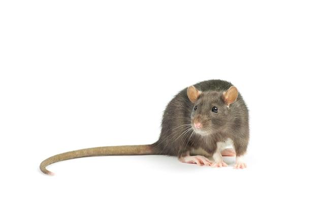 Śmieszny szczur na białym tle