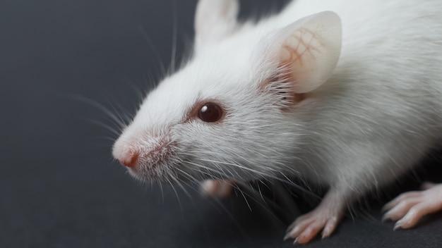 Śmieszny szczur odizolowywający na czarnym tle