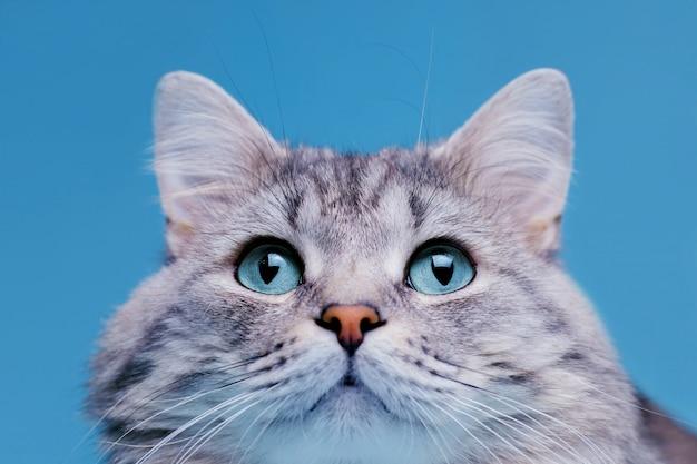 Śmieszny uśmiechnięty szary tabby śliczny kot z niebieskimi oczami.
