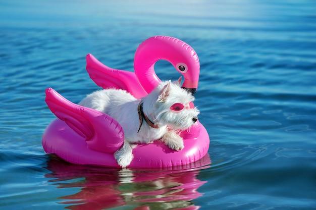 Śmieszny west highland terrier w pływackich szkłach ma odpoczynek na gumowej tratwie