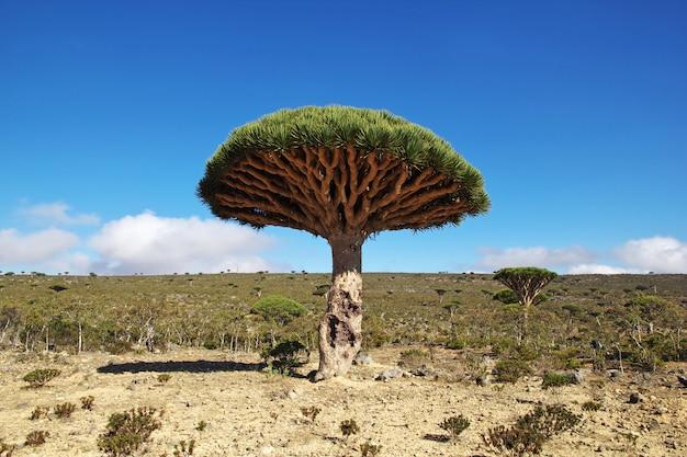 Smocze drzewo, drzewo krwi na płaskowyżu homhil, wyspa sokotra, ocean indyjski, jemen