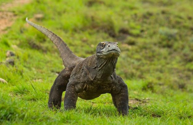 Smok z komodo leży na ziemi. indonezja. park narodowy komodo.