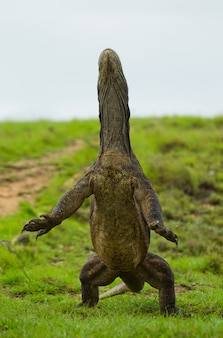 Smok z komodo stoi wyprostowany na tylnych łapach. indonezja. park narodowy komodo.