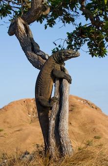 Smok z komodo wspiął się na drzewo. bardzo rzadki obraz. indonezja. park narodowy komodo.