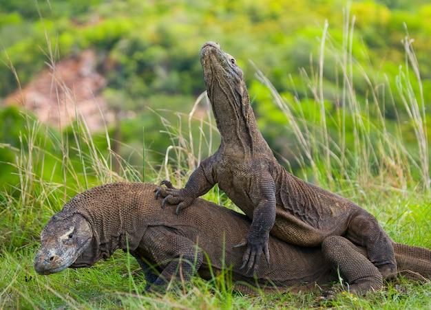 Smoki z komodo walczą ze sobą. bardzo rzadki obraz. indonezja. park narodowy komodo.