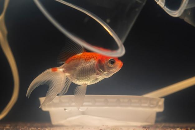 Smutna betta rybka pływająca między plastikowymi miseczkami