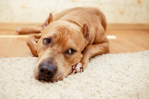 Smutny amerykański staffordshire terrier leży na podłodze w domu.