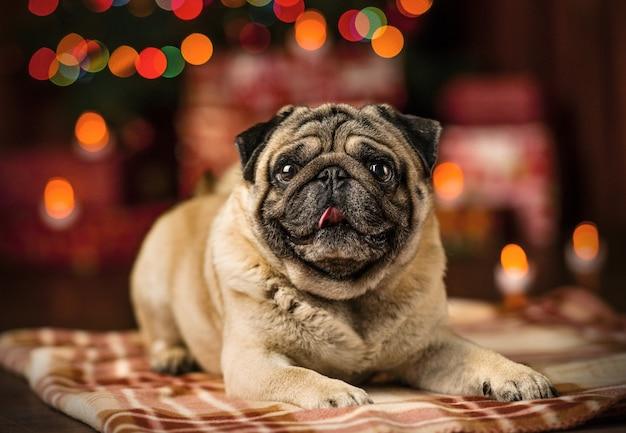 Smutny czerwony pies pekińczyk w kolorze lampek choinkowych