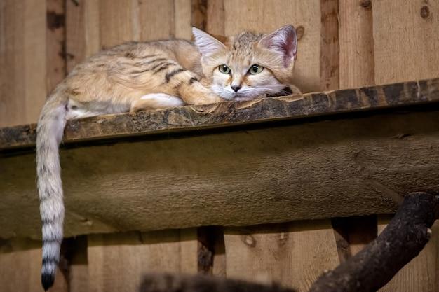 Smutny kot cheshire z dużymi uszami i oczami leży na tablicy. ogon wisi. wełniane brązowe, białe i czarne paski.