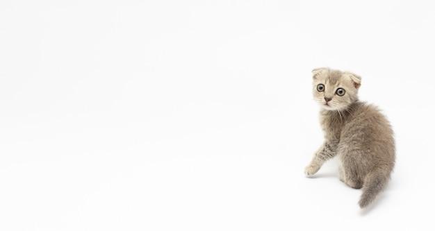 Smutny kotek słodkie dziecko szary brytyjski piękny kotek transparent kopia przestrzeń