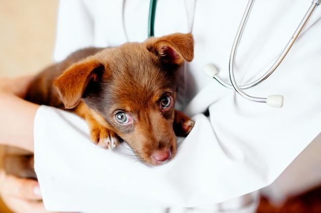 Smutny labrador szczeniak pies u lekarza weterynarii