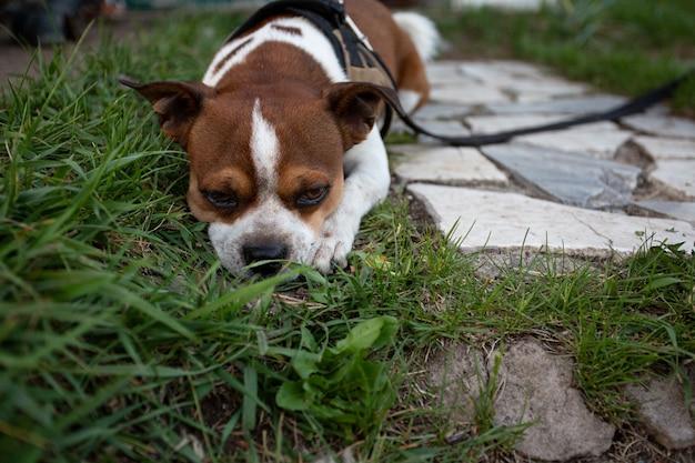 Smutny mały pies chihuahua leżący na ogrodowej drodze