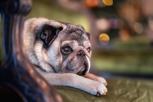 Smutny mops pies siedzi w domu na kanapie z kapeluszem i uroczystości